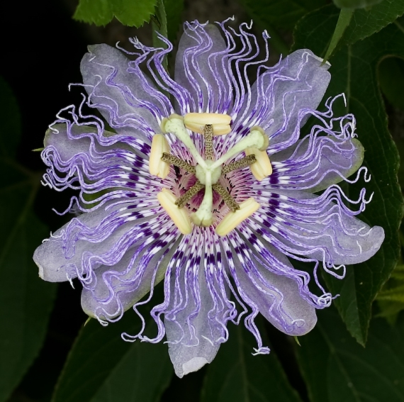 oq_passion_flower