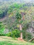 papaya en los mangos